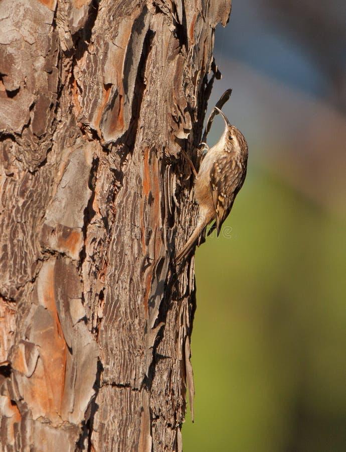 A kort-toed Treecreeper op een pijnboomboom stock afbeelding