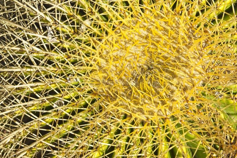 Korta skarpa riktningar för grova spikar sammanlagt av ett grönt kaktusväxtslut tillsammans arkivfoton