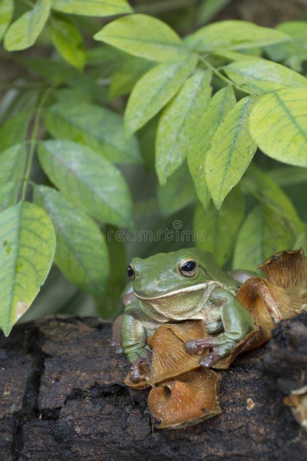 Korte en dikke kikker, boomkikker, groene de boomkikker van Papoea stock afbeelding