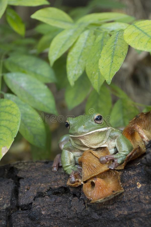 Korte en dikke kikker, boomkikker, groene de boomkikker van Papoea stock foto's