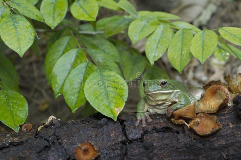 Korte en dikke kikker, boomkikker, groene de boomkikker van Papoea royalty-vrije stock foto's
