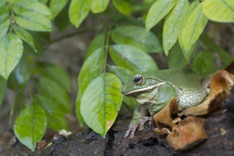 Korte en dikke kikker, boomkikker, groene de boomkikker van Papoea stock afbeeldingen