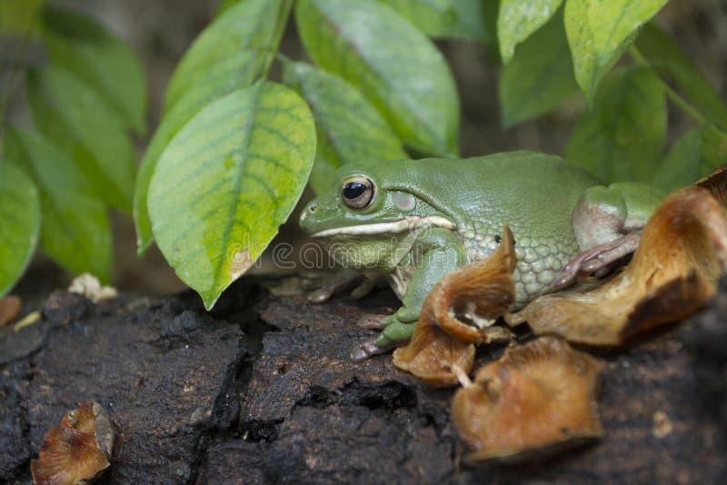 Korte en dikke kikker, boomkikker, groene de boomkikker van Papoea royalty-vrije stock foto