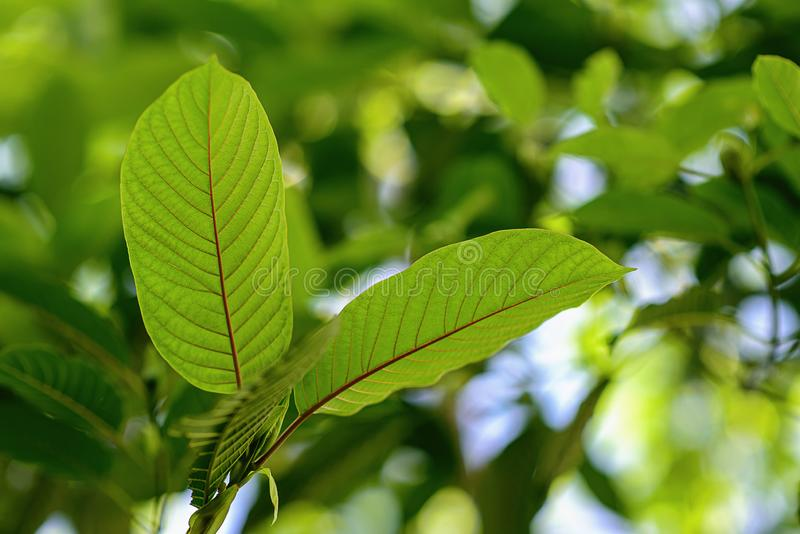 Korth Cottage Leaves Kratom flowers growing in nature are addictive and medical.  stock photos