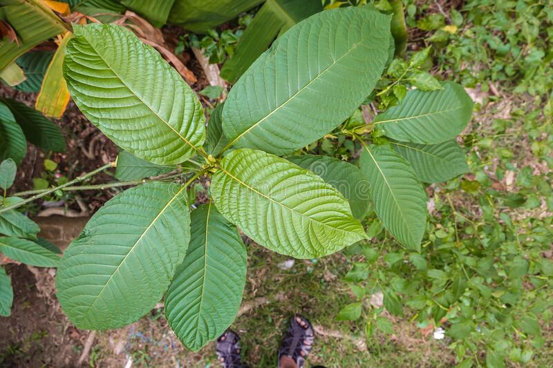 Korth Cottage Leaves Kratom flowers growing in nature are addictive and medical.  stock image