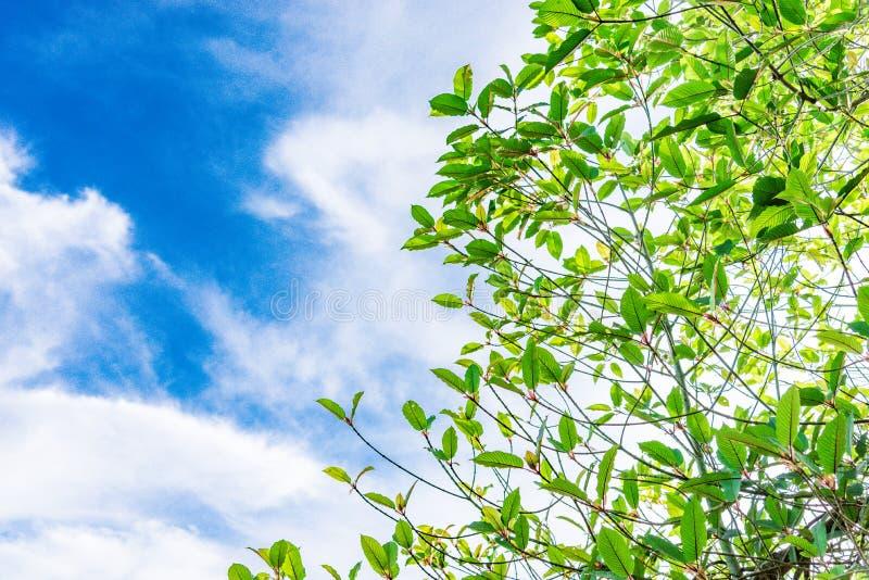 Korth do speciosa de Mitragyna Localizado no Rubiaceae da família O L fotografia de stock royalty free