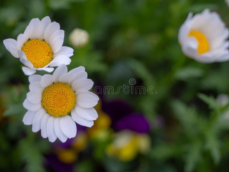 Kortkort-pr?stkragen blommor, vita kronblad, h?rliga gula stamens, v?xer p? f?lt f?r gr?nt gr?s arkivbilder