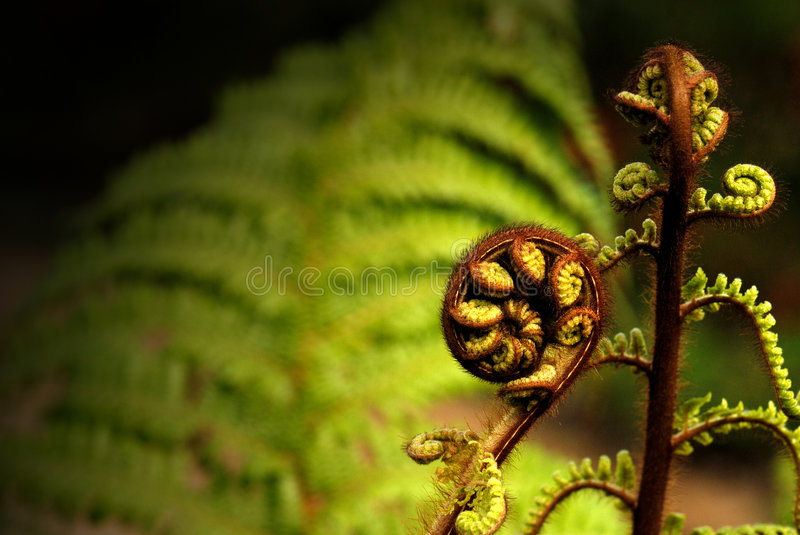 Koru. Uncurling fern plant with a full grown fern plant in the background stock images