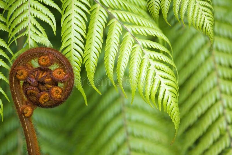 Koru do fern de Nova Zelândia fotografia de stock