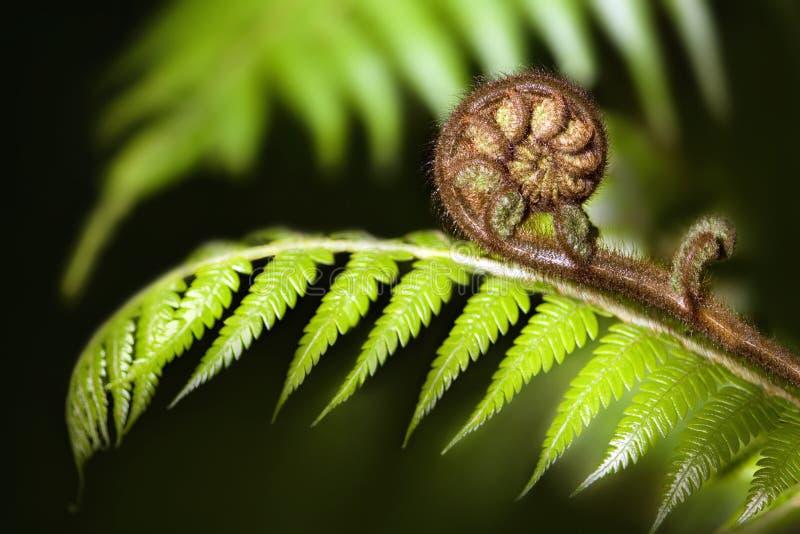 Koru icónico do fern de Nova Zelândia imagem de stock