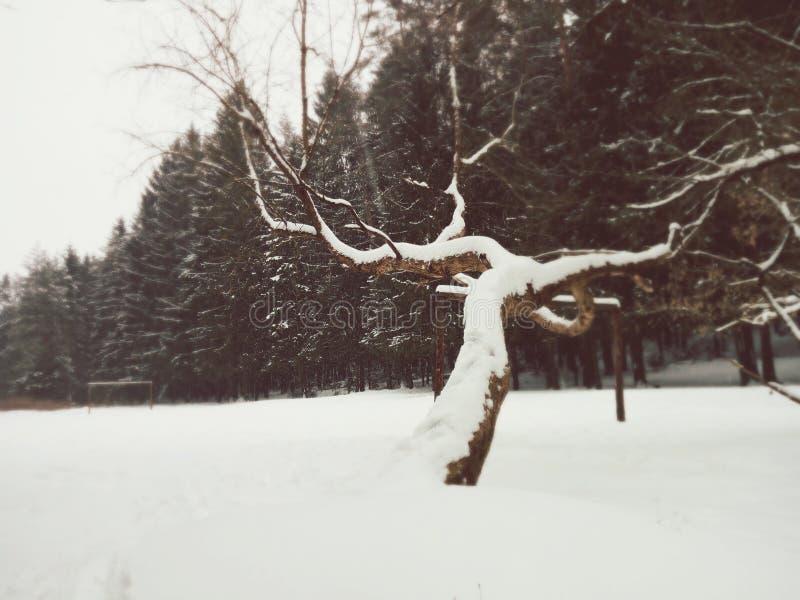 Koryak suchy drzewo obrazy stock