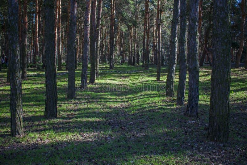 Korytarz wiele iglaści drzewa w lesie zdjęcie royalty free