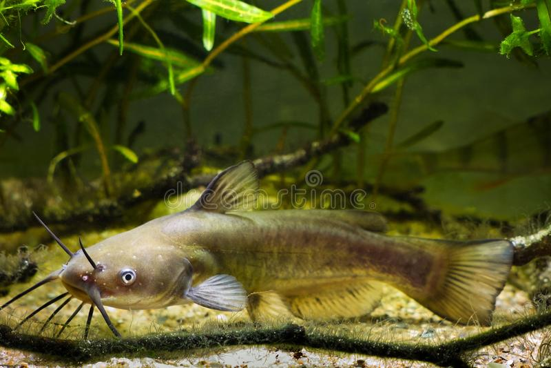 Korytkowy sum, Ictalurus punctatus, niebezpieczny naje?d?czy s?odkowodny drapie?nik w Europejskim biotop ryby akwarium zdjęcie royalty free