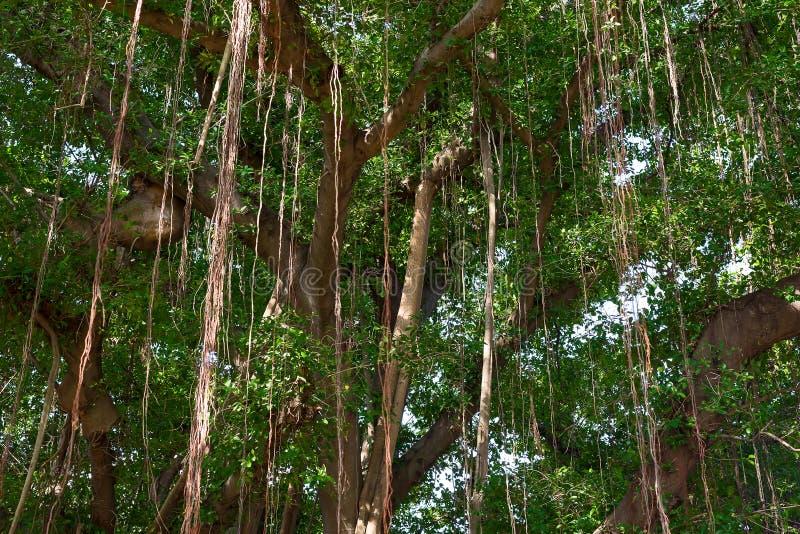 Korzeń Ficus Benjamina obraz stock