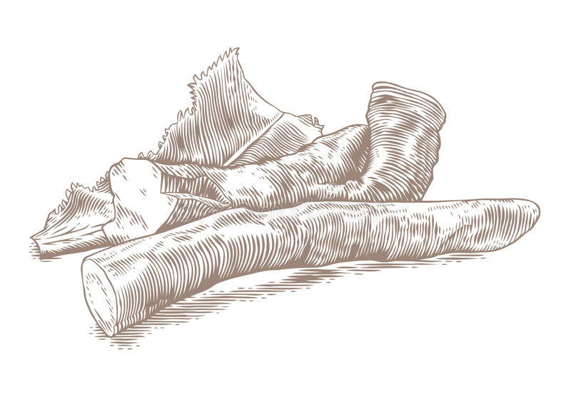 Korzeń horseradish royalty ilustracja