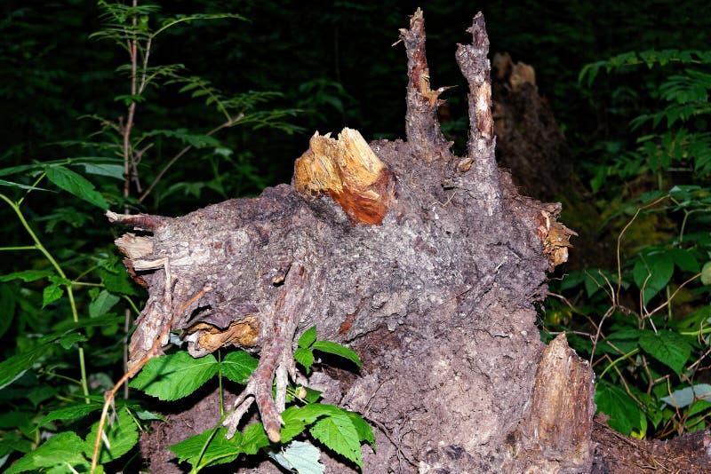 Korzeń spadać drzewo galanteryjny kształt w ciemnym iglastym lesie fotografia royalty free