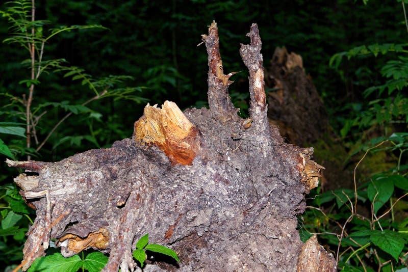 Korzeń spadać drzewo galanteryjny kształt w ciemnym iglastym lesie zdjęcia royalty free
