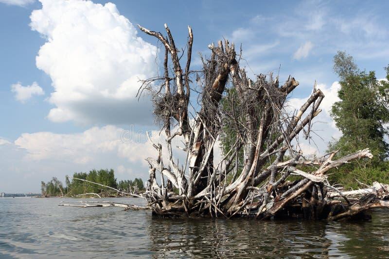 Korzeń stary spadać drzewo w rzece fotografia stock