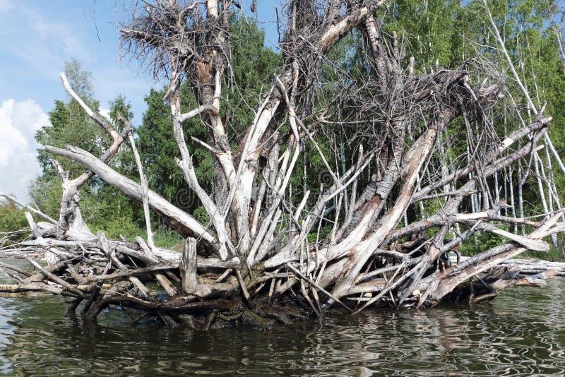Korzeń stary spadać drzewo w rzece zdjęcia stock