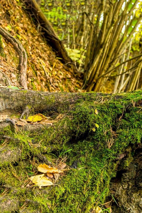 Korzeń wielki drzewo zakrywający z mech bazą las magiczny w górę tła mech drzewa przeciw obraz royalty free