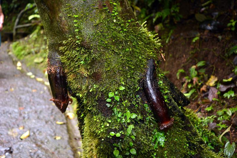 Korze? drzewo r od drzewnego baga?nika, jednakowego m?ski plciowy organ w Costa Rica fotografia stock