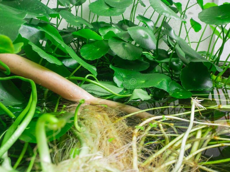Korzenia i liścia lotos zdjęcia royalty free