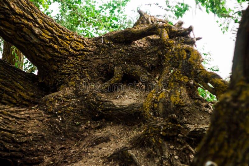 Korzenie drzewo przeplatają na piaskowatej i kamienistej powierzchni korzeniowy system wielki drzewo zdjęcia royalty free