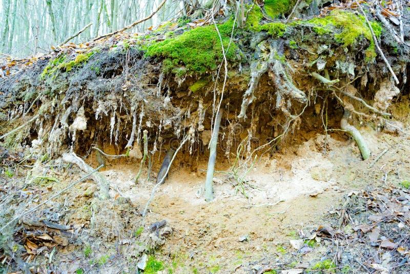 Korzenie drzewo w lasowym rozciągającym out na ziemi obrazy stock