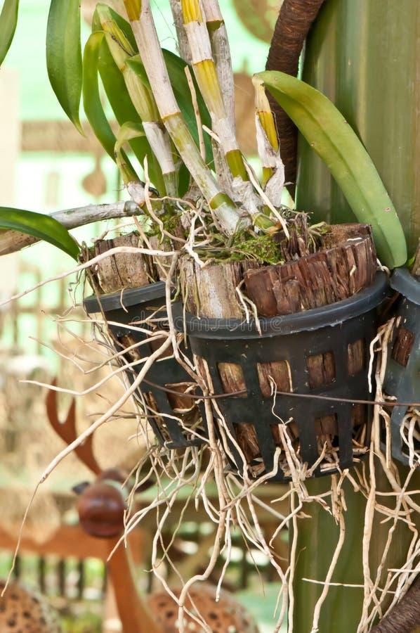 Korzenie orchidee zdjęcia stock