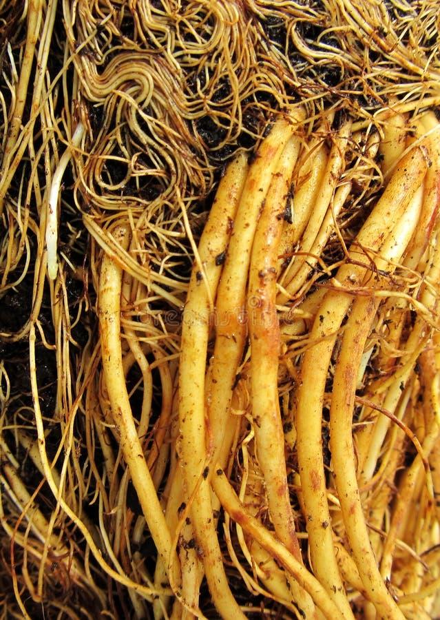 Download Korzenie Truskawkowa Sadzonkowa Zbliżenie Fotografia Obraz Stock - Obraz złożonej z korzeń, ekologia: 57662053