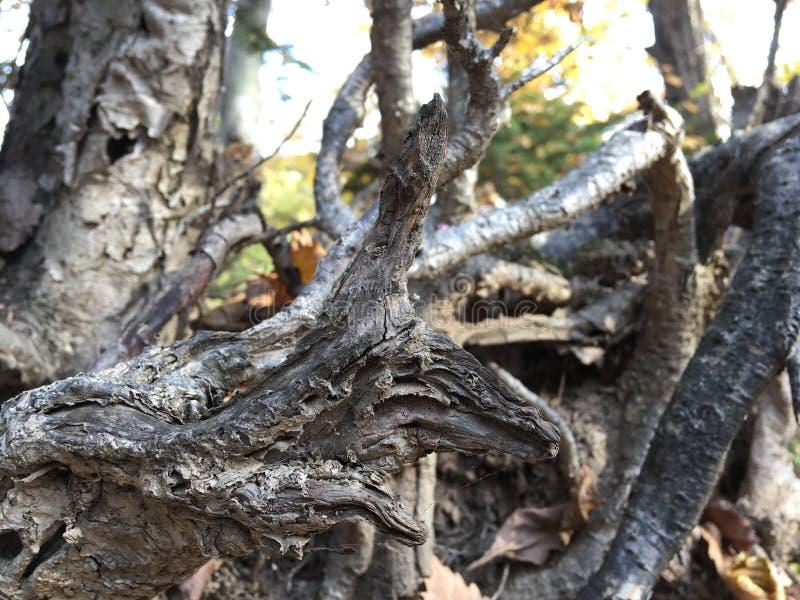 Korzenie wykorzeniający drzewo, zakończenie Las, drzewa obraz royalty free