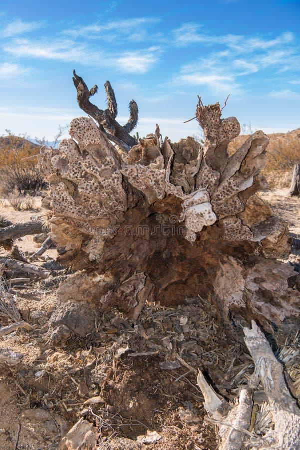 Korzenie wykorzeniający Joshua drzewo obrazy stock
