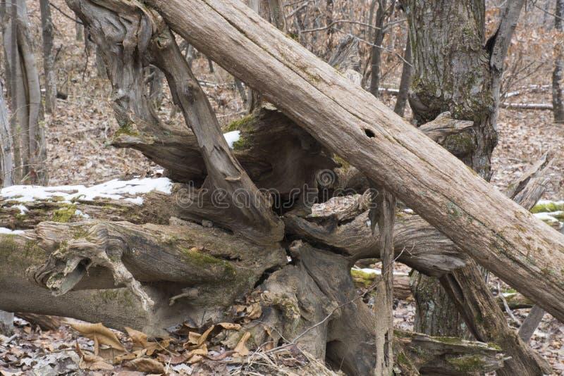Korzeniowa końcówka spadać drzewo zdjęcie royalty free
