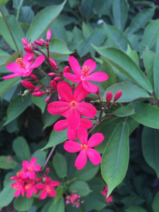 Korzenni jatropha kwiaty zdjęcie royalty free