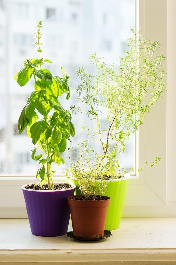 Korzenni ziele na parapecie cząber, basil i macierzanka -, obraz royalty free