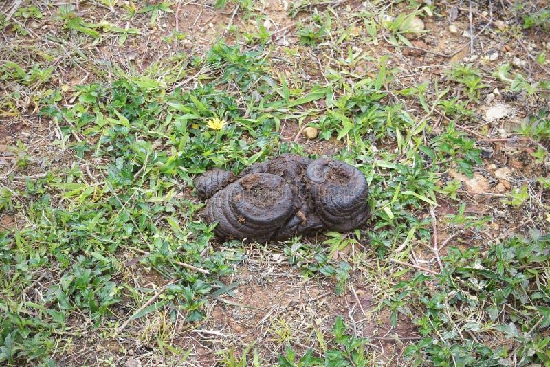 Kos dynga på grässlätt på grönt gräs i djurlantgård royaltyfri foto