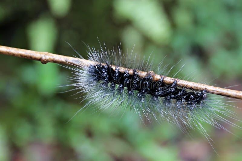 Kosmata gąsienica na gałąź fotografia royalty free