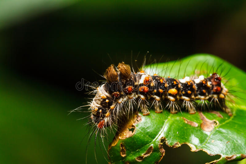 Kosmata gąsienica na zielonym liściu obraz royalty free