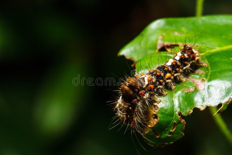 Kosmaty Caterpillar obrazy royalty free