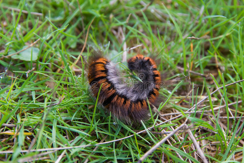 Kosmaty Caterpillar, Oruga peluda - zdjęcie stock
