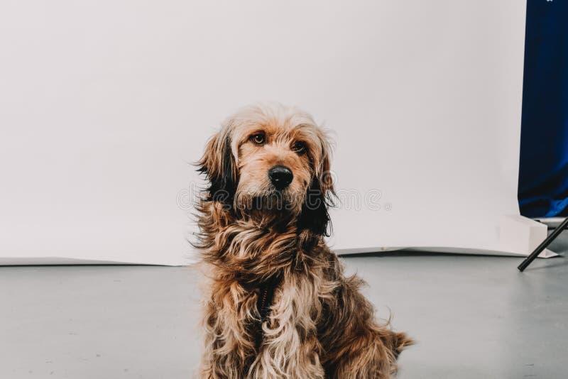 Kosmaty owłosiony śliczny brązu pies na krześle patrzeje marzycielski w pracownianej sytuaci fotografia royalty free