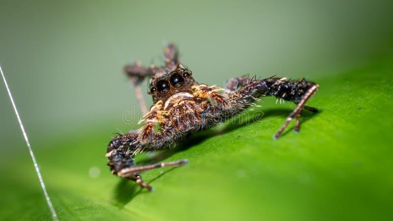 Kosmaty pająk na zielonym liściu zdjęcie royalty free
