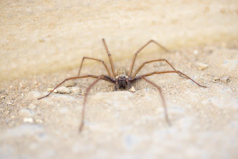 Kosmaty straszny pająk obrazy stock