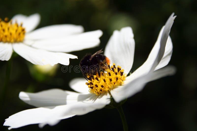 Kosmeya hermoso atraído al jardín de un abejorro foto de archivo