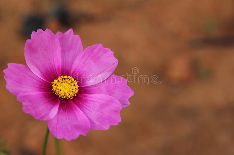 Kosmeya. Scientific name : Cosmos sulphureus Cav, flower, flowers, sky, pink, blue, daisy, against, field, spring, background, plant, nature, summer, blossom stock image