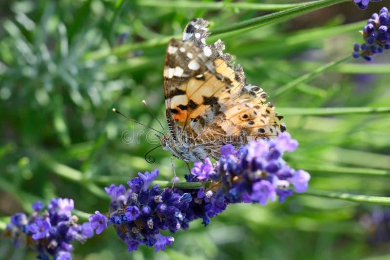 Kosmopolitisk fjäril - Vanessa cardui, Syn : Cynthia cardui - på att blomma lavendel arkivfoton