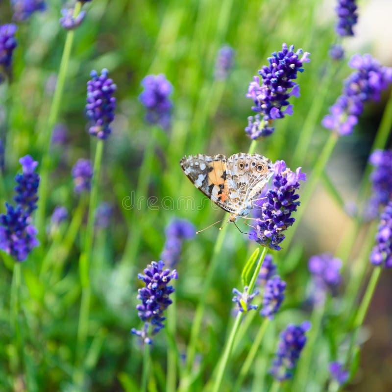 Kosmopolitisk fjäril - Vanessa cardui, Syn : Cynthia cardui - på att blomma lavendel royaltyfri bild
