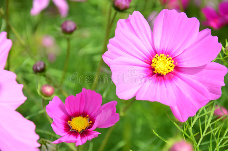 Kosmosów kwiatów pole przy wsią Nakornratchasrima Tajlandia zdjęcie royalty free