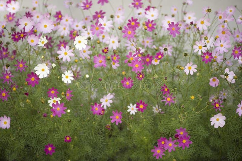 kosmosów kwiaty zdjęcia stock