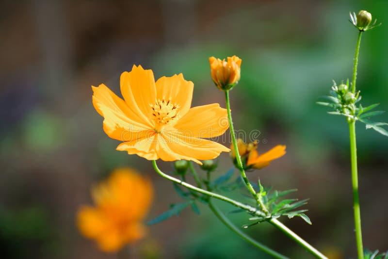 Kosmosów kwiaty fotografia stock